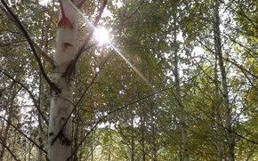 autumn, birch, RAYS OF THE SUN