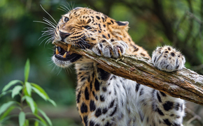 animal, predador, leopardo