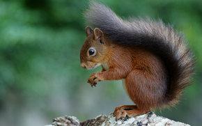 animal, Ruivo, esquilo