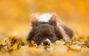 c?ozinho, focinho, c?o, ver, Chihuahua, folhagem