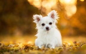 Chihuahua, cane, pecorina, fogliame, bokeh