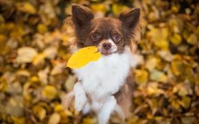 чихуахуа, собака, пёсик, листик, листья, настроение, боке