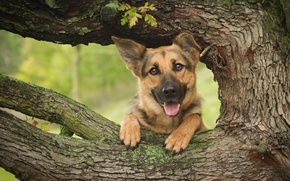 German shepherd, shepherd, dog, Snout, tree