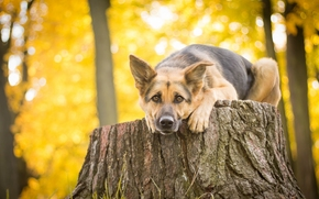 German shepherd, shepherd, dog, view, STUMP