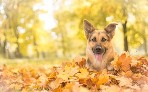 German shepherd, shepherd, dog, Snout, view, foliage, autumn