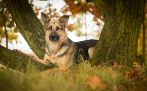 German shepherd, shepherd, dog, view, foliage, tree