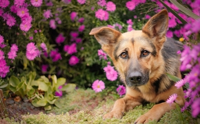 German shepherd, shepherd, dog, Snout, view, Flowers