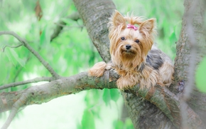 Yorkshire terrier, York, dog, tree
