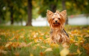 c?o, folhagem, Iorque, outono, Yorkshire Terrier
