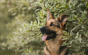 German shepherd, shepherd, dog, Snout, portrait, BRANCH
