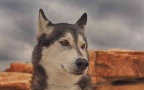 Huskies, dog, Snout, portrait