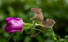Harvest Mouse, Eurasian harvest mouse, mouse, couple, flower
