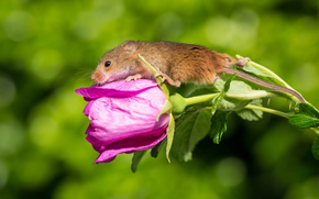 Harvest Mouse, Eurasian harvest mouse, mouse, flower