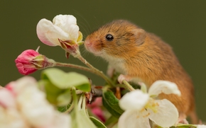 Harvest Mouse, Eurasian harvest mouse, mouse, flower, Macro