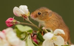 mouse, flor, Eurasian rato colheita, Macro, Rato de colheita