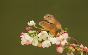 Harvest Mouse, Eurasian harvest mouse, mouse, couple, branch, flowers