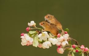Harvest mouse, Micromys Minutus, topo, coppia, ramo, fiori