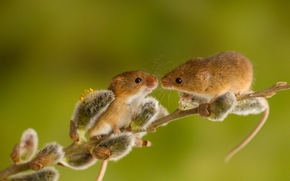 Harvest Mouse, Eurasian harvest mouse, mouse, couple, branch, pussy-willow