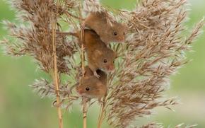 mouse, trio, Eurasian rato colheita, Trindade, Rato de colheita, cana