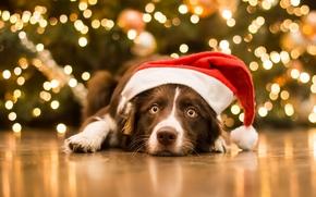 cão, Focinho, ver, boné, Natal, Ano Novo