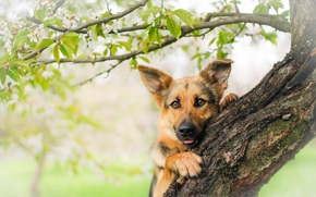 German shepherd, shepherd, dog, Snout, view, tree