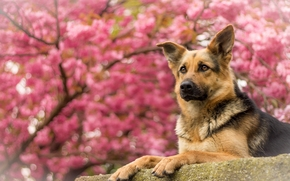 German shepherd, shepherd, dog, portrait