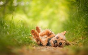 c?o, ver, Iorque, Yorkshire Terrier