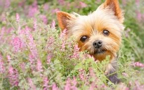 c?o, mordashka, Iorque, ver, Yorkshire Terrier, Flores