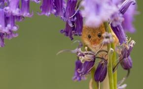 mouse, Sinos, Eurasian rato colheita, Flores, Rato de colheita, Macro