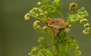 mouse, feto, Eurasian rato colheita, Rato de colheita