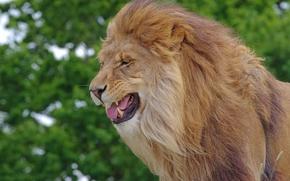 león, Rey de la selva, GRIVA