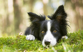 Border Collies, dog, Snout, view, moss