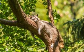 raccoon, rasslabon, Relax, dream, tree, on the tree