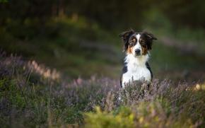 c?o, heather, Aussies, Australian Shepherd