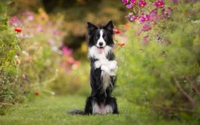 Border Collie, cane, cremagliera, stato d'animo, Fiori, Kosmeya