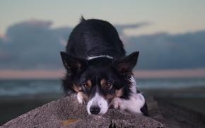 chien, Museau, voir, pierre