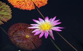 фотокартина, печать на холсте на заказ Украина ArtHolst Water Lily, Водяная лилия, цветок, флора