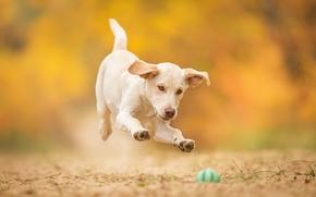 собака, щенок, мячик, игра, прыжок