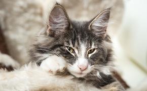orelhas, leer, focinho, ver, Gato noruegu?s da floresta