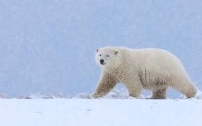 Urso polar, suportar, urso polar, neve, Alasca