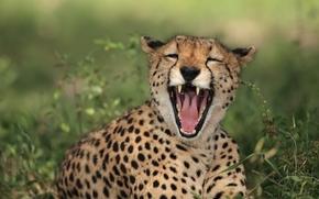 ghepardo, gattopardo, predatore, mascelle, riso, ha-ha