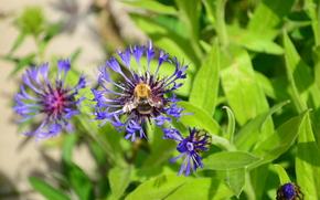 pszczoła, charakter, Kwiaty, lato, trawa, daczy