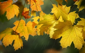 autumn, maple, foliage, Macro