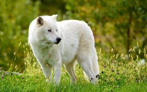 Loup arctique, Loup arctique, loup