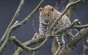 Дальневосточный леопард, Амурский леопард, леопард, детёныш, котёнок, ветки