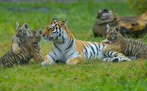 filhotes, Jovem, tigresa, Gatinhos, Tigres, Maternidade