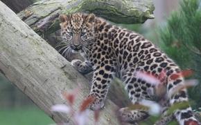 leopardo, filhote, Leopardo de Amur, gatinho, Leopardo do Extremo Oriente, log