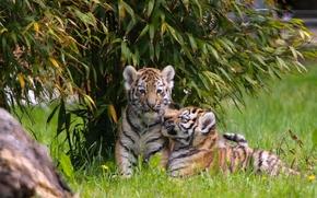 Gatinhos, Jovem, filhotes, crian?as, Tigres, casal, g?meos