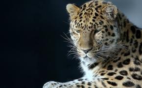 retrato, bonito, leopardo
