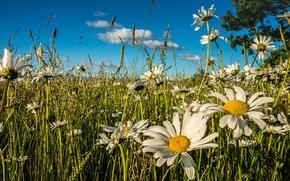 луг, цветы, ромашки, лето